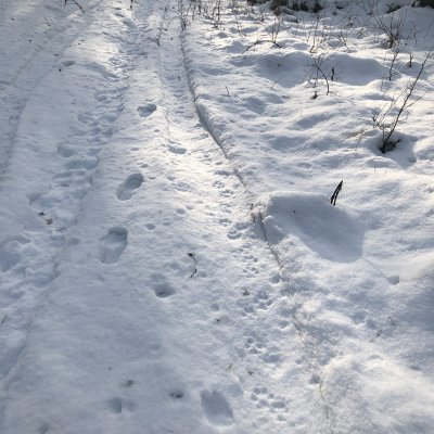 Tracking Wolves In The Białowieża Forest - Fresh Wolf Footprints In The Snow.