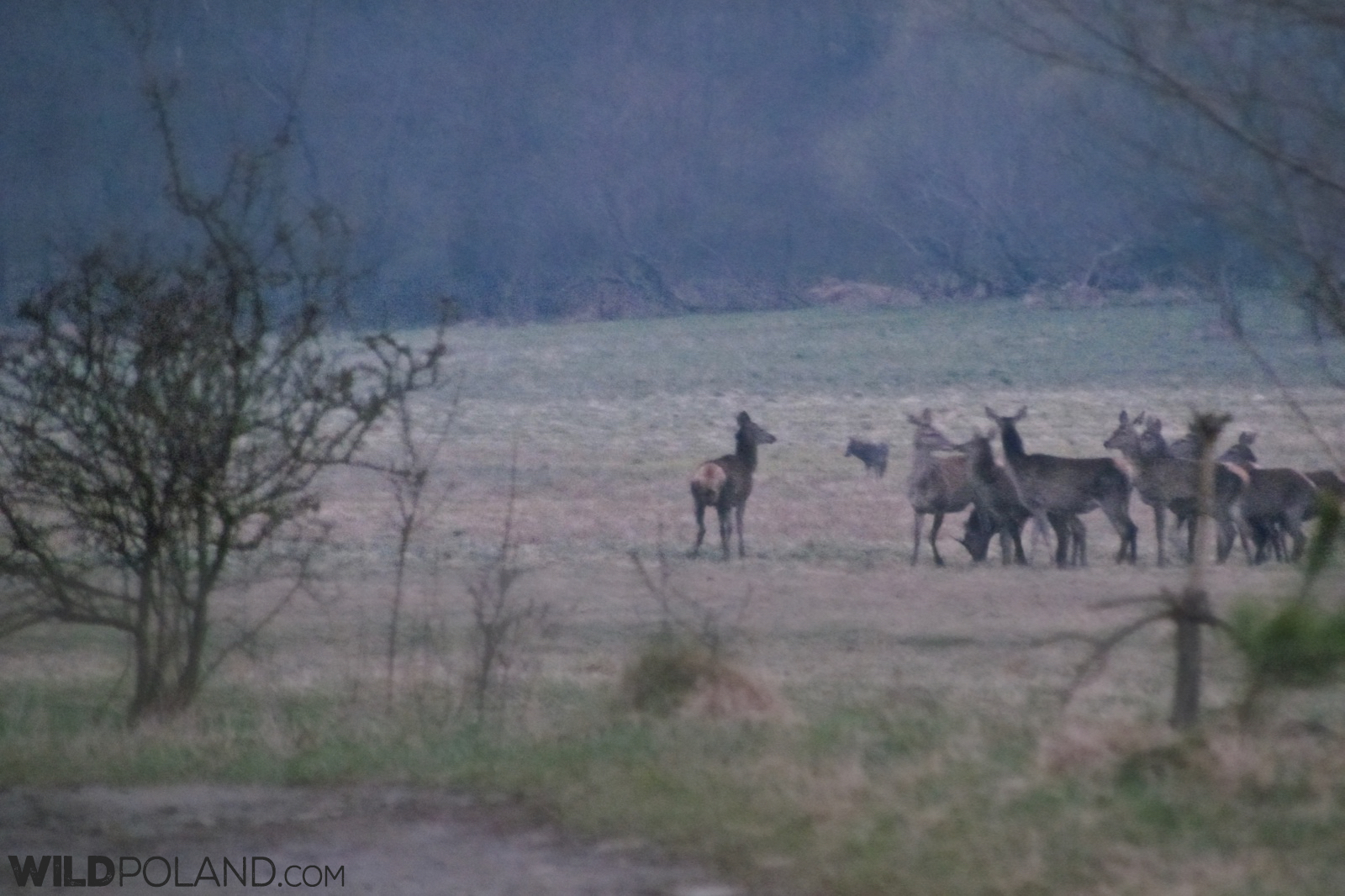one of the wolves joins Red Deer at the meadow