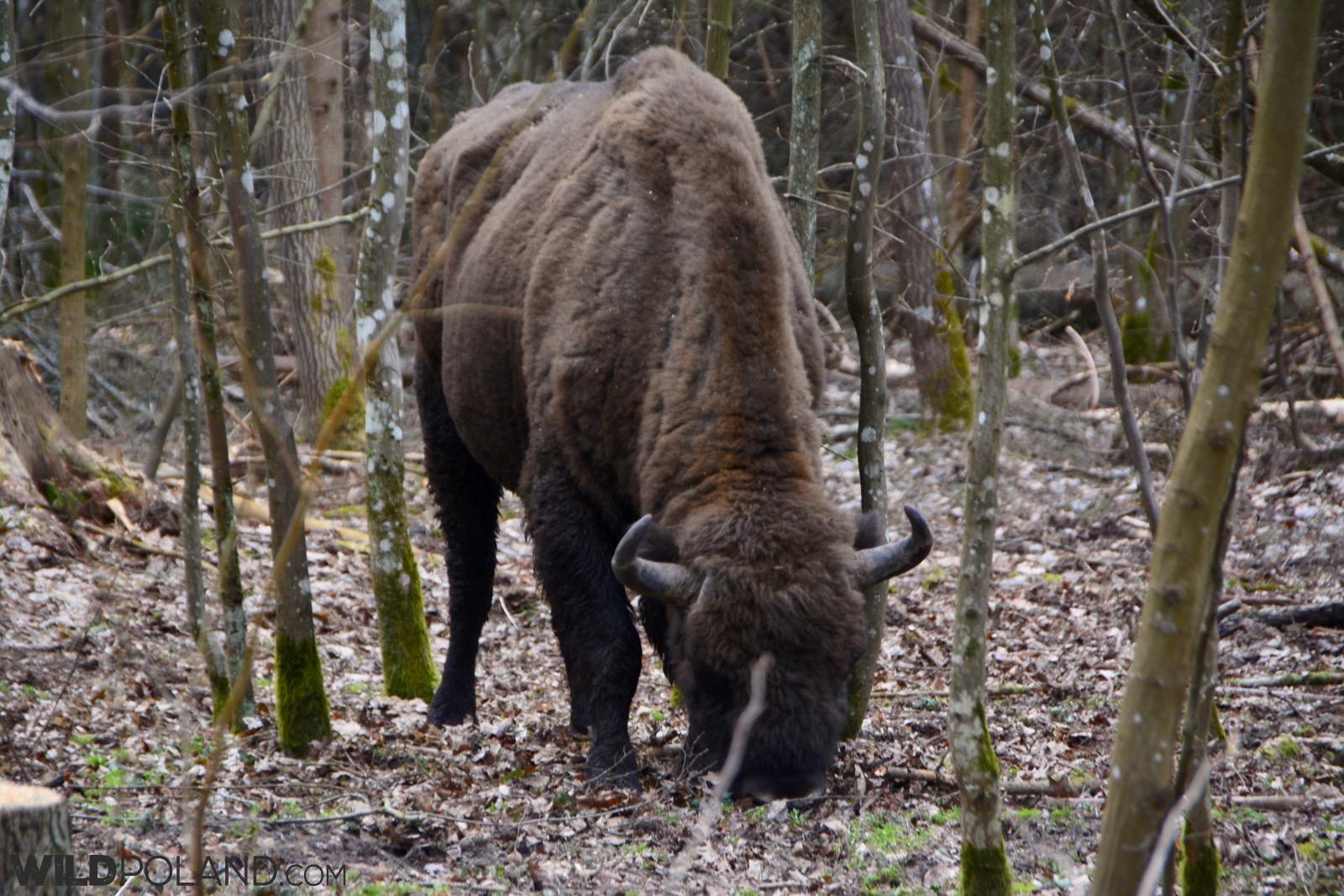 European Bison in the Białowieża Forest, photo Michał Skierczyński
