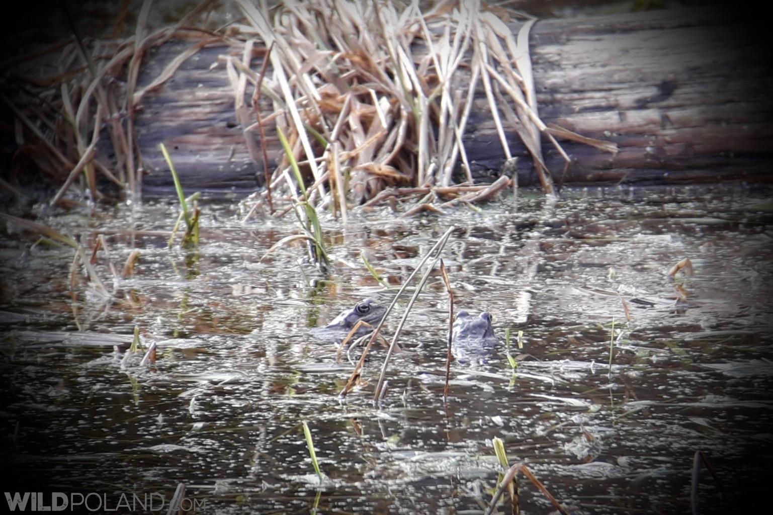 Moor Frogs spawn, photo Michał Skierczyński