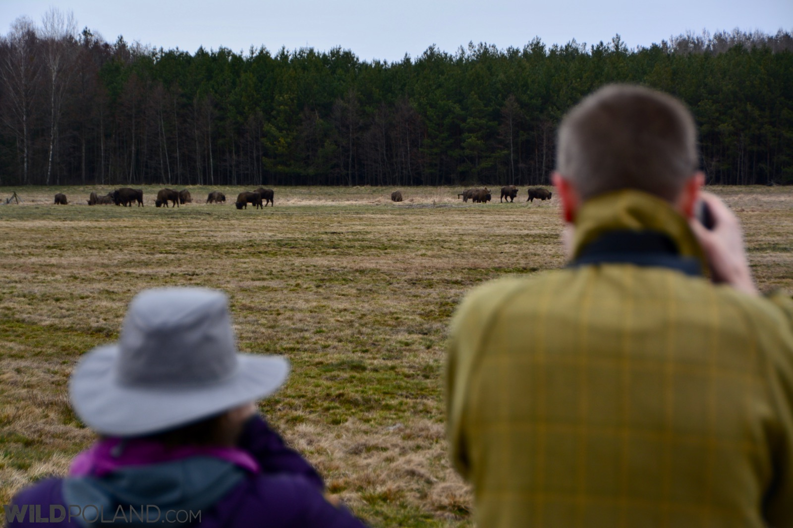 Bison watching in the northern part of the Białowieża Forest, photo by Michał Skierczyński