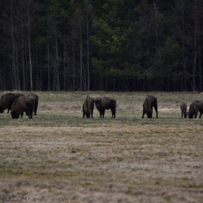Herd Of Bison In The North Part Of The Białowieża Forest, Photo By Michał Skierczyński