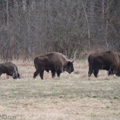 European Bison In The In The Białowieża Forest, Photo By Michał Skierczyński