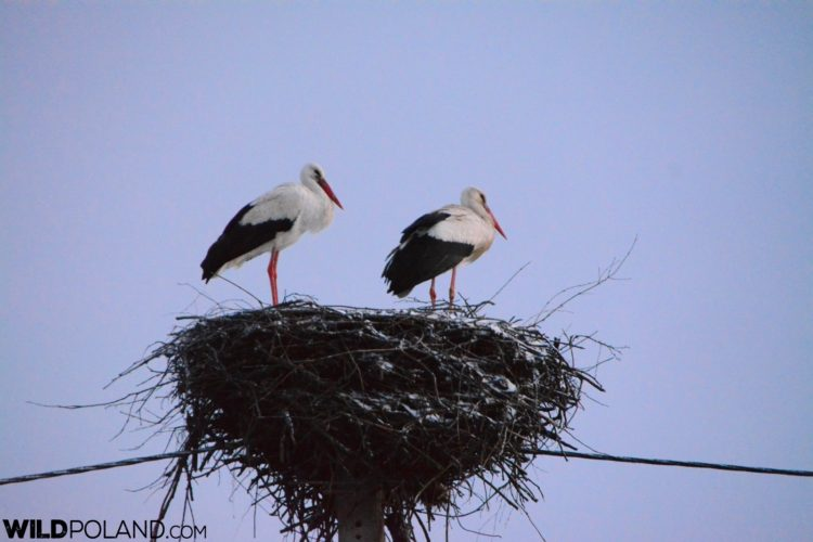 White Stork And Snow-dusted Nest, Photo By Michał Skierczyński