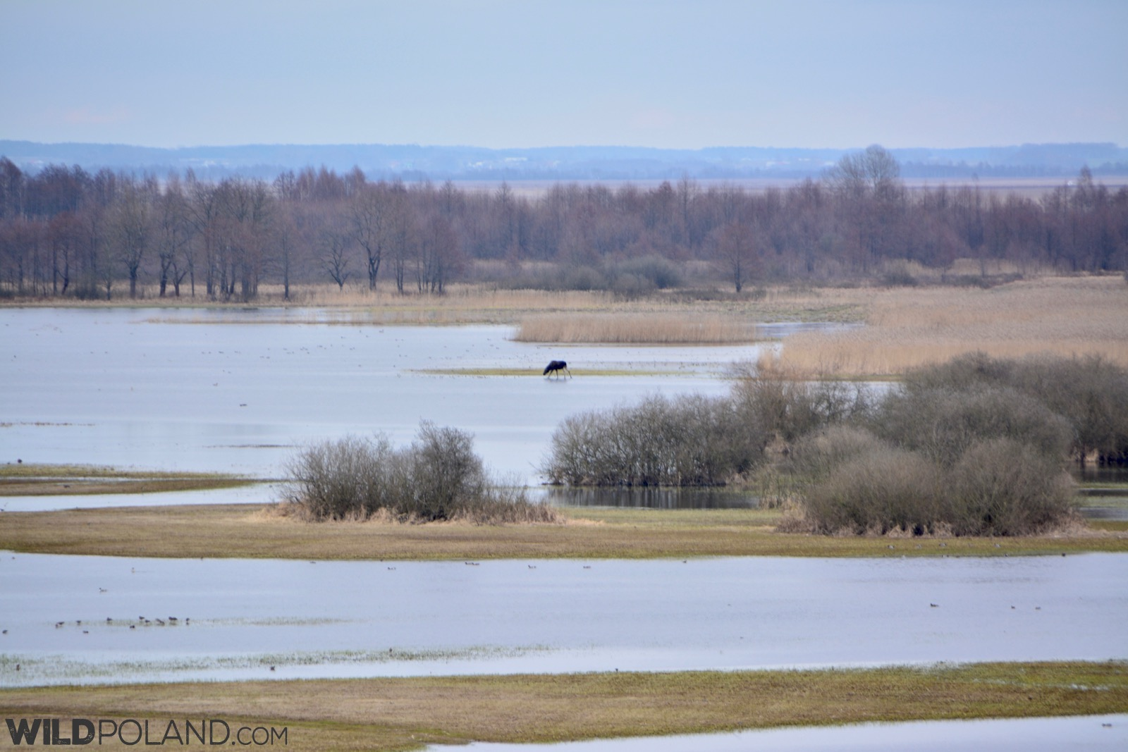 Elk (Moose) at the Biebrza Marshes, photo by Michał Skierczyński