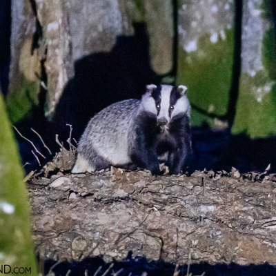 Badger In The Białowieża Forest, Photo By Scott & Rosemary Gilbertson