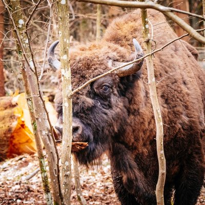 Bison Bull In The Białowieża Forest, Photo By Scott & Rosemary Gilbertson