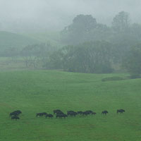 Bison herd in the Bieszczady Mts at dawn