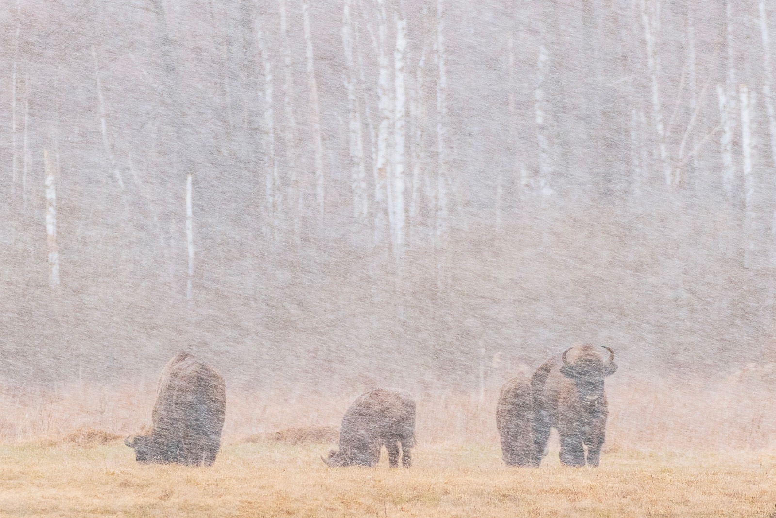 Bison in the snow, fossy spring weather in NE Poland, photo by Scott Scott & Rosemary Gilbertson