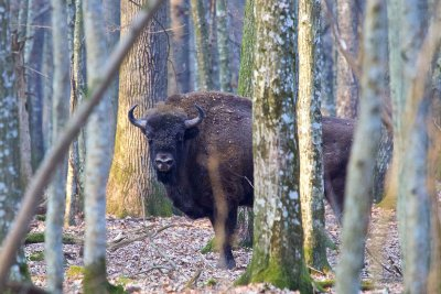 Bison in the Białowieża Forest early spring