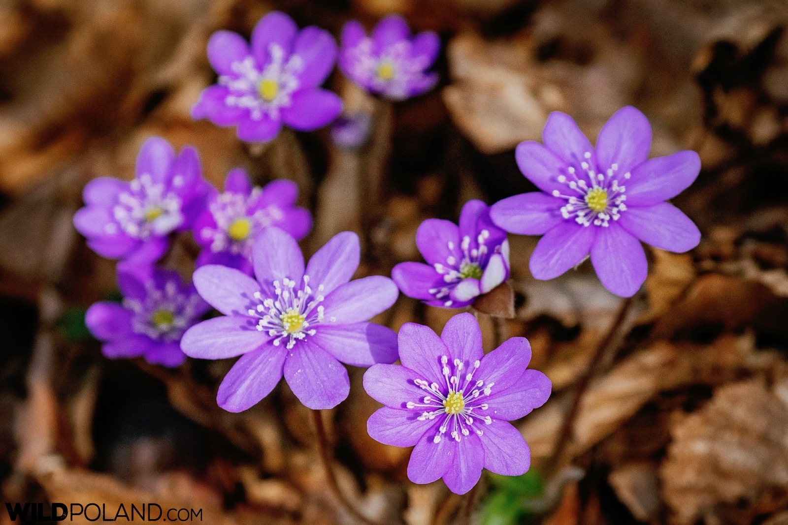 Hepatica - one of the earliers flowers to bloom in the Białowieża Forest 