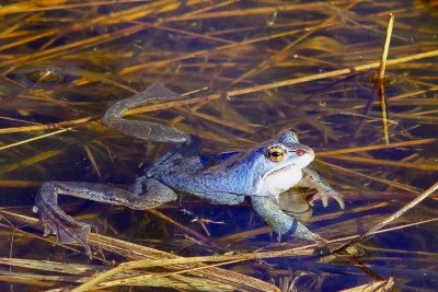Moor Frog in the Biebrza Marshes by Andrzej Petryna