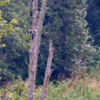 White-backed Woodpecker In The Bieszczady Mts