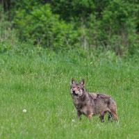 Wolf in Bieszczady Mts. Photo by Phillip Holloh, 2017 trip.