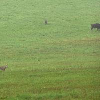 Wolf And Wild Bison Herd In The Bieszczady Mts By Andrzej Petryna