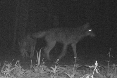 Wolves at night in the Białowieża Forest