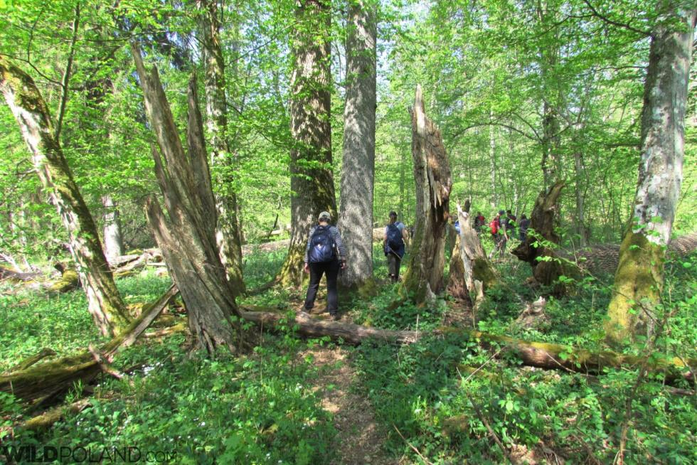 Primeval Forest & Marshes, Apr-May 2019