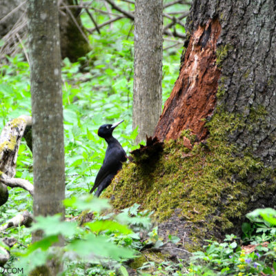 Black Woodpecker Feeding On The Ground Level In The Białowieża National Park