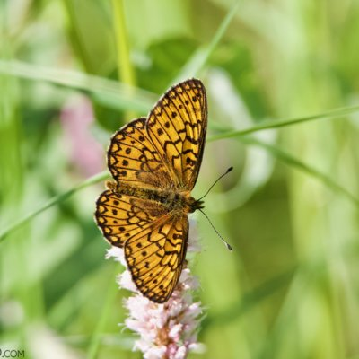 Bog Fritillary In The Białowieża Forest. Photo By Tomasz Jezierczuk