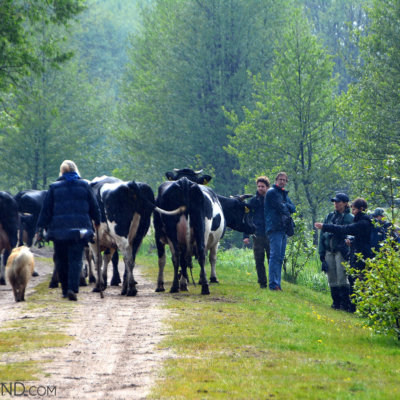 Cattle On The Trail In The Biebrza National Park