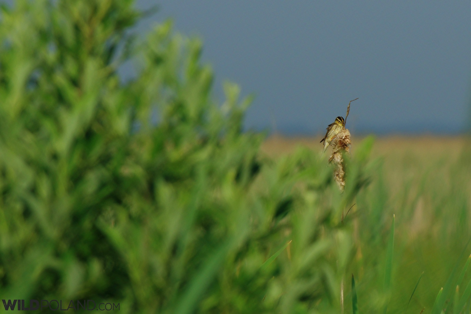 Aquatic Warbler in the Biebrza Marshes