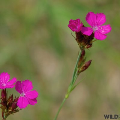 Carthusian Pink, Photo By Andrzej Petryna