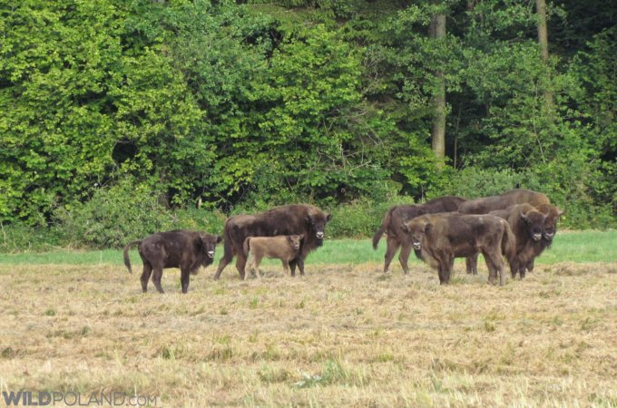 Bison Safari In The Białowieża Forest, July 2019