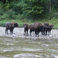 European Bison seen early morning in the Bieszczady Mountains, Eastern Carpathians