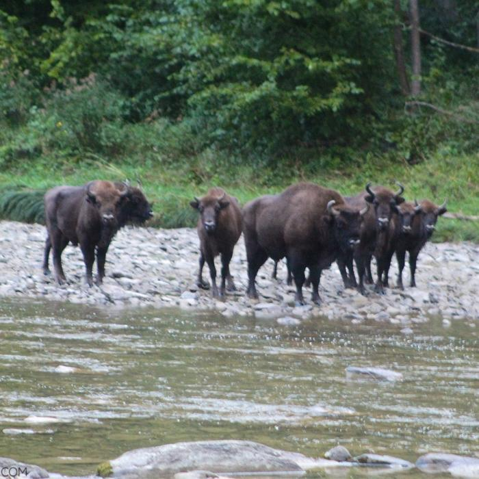 European Bison Seen Early Morning In The Bieszczady Mountains, Eastern Carpathians