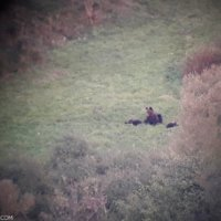 Brown Bear With Three Cubs Seen On Wild Poland Festival In The Bieszczady Mountains, Eastern Carpathians