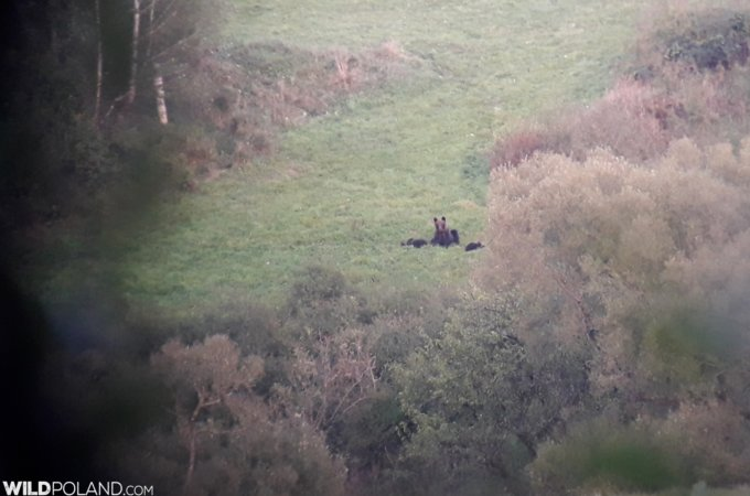 Brown Bear With 3 Cubs In The Bieszczady Mts, Eastern Carpathians Seen On Our Festival