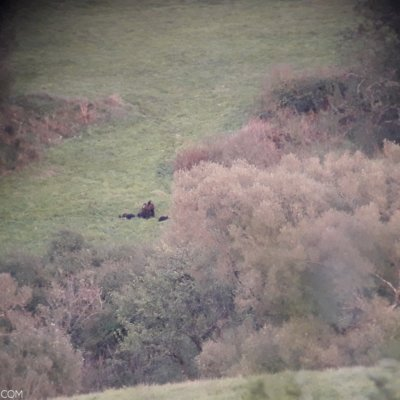 Brown Bear With 3 Cubs In The Bieszczady Mts, Eastern Carpathians