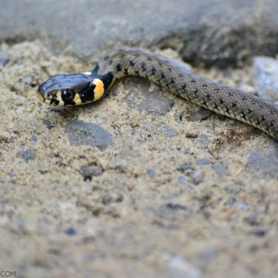 Grass Snake In The Bieszczady Mountains, Eastern Carpathians