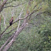Lesser Spotted Eagle In The Bieszczady Mountains, Eastern Carpathians