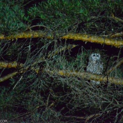 Tawny Owl In The Bieszczady Mountains, Eastern Carpathians