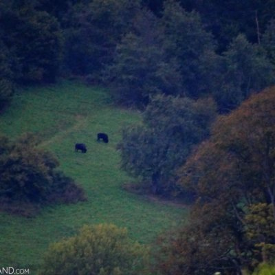 European Bison In The Bieszczady Mts, Eastern Carpathians