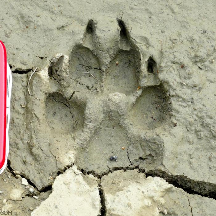 Wolf Footprint In The Bieszczady Mountains, Eastern Carpathians