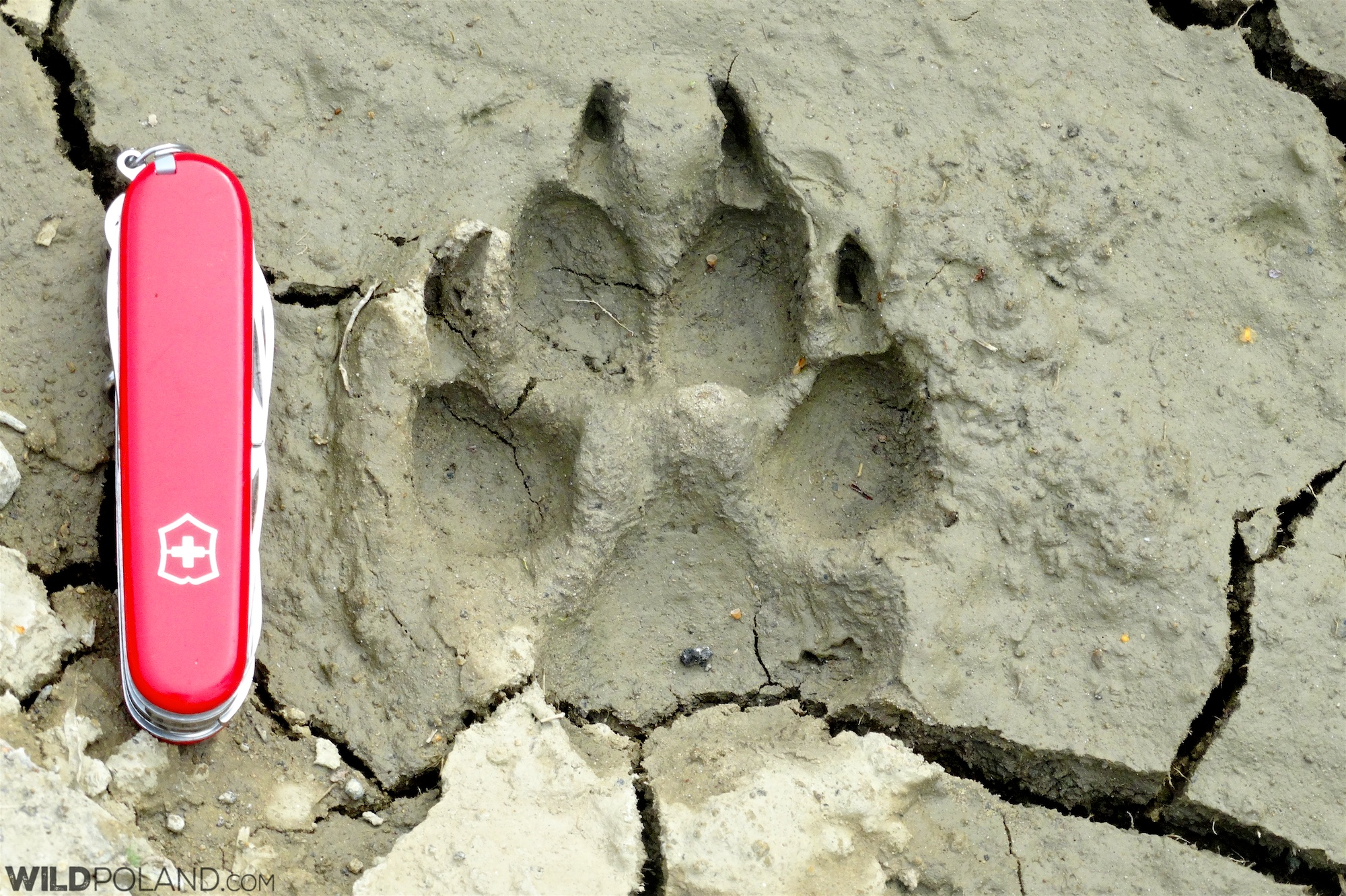 Wolf footprint in the Bieszczady Mountains, Eastern Carpathians