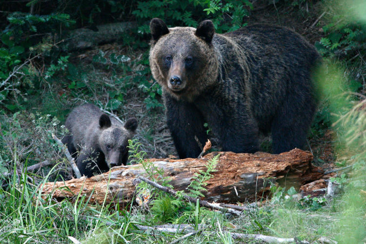 Carpathian Mammals - In Search Of Wolves, Bears And Lynx