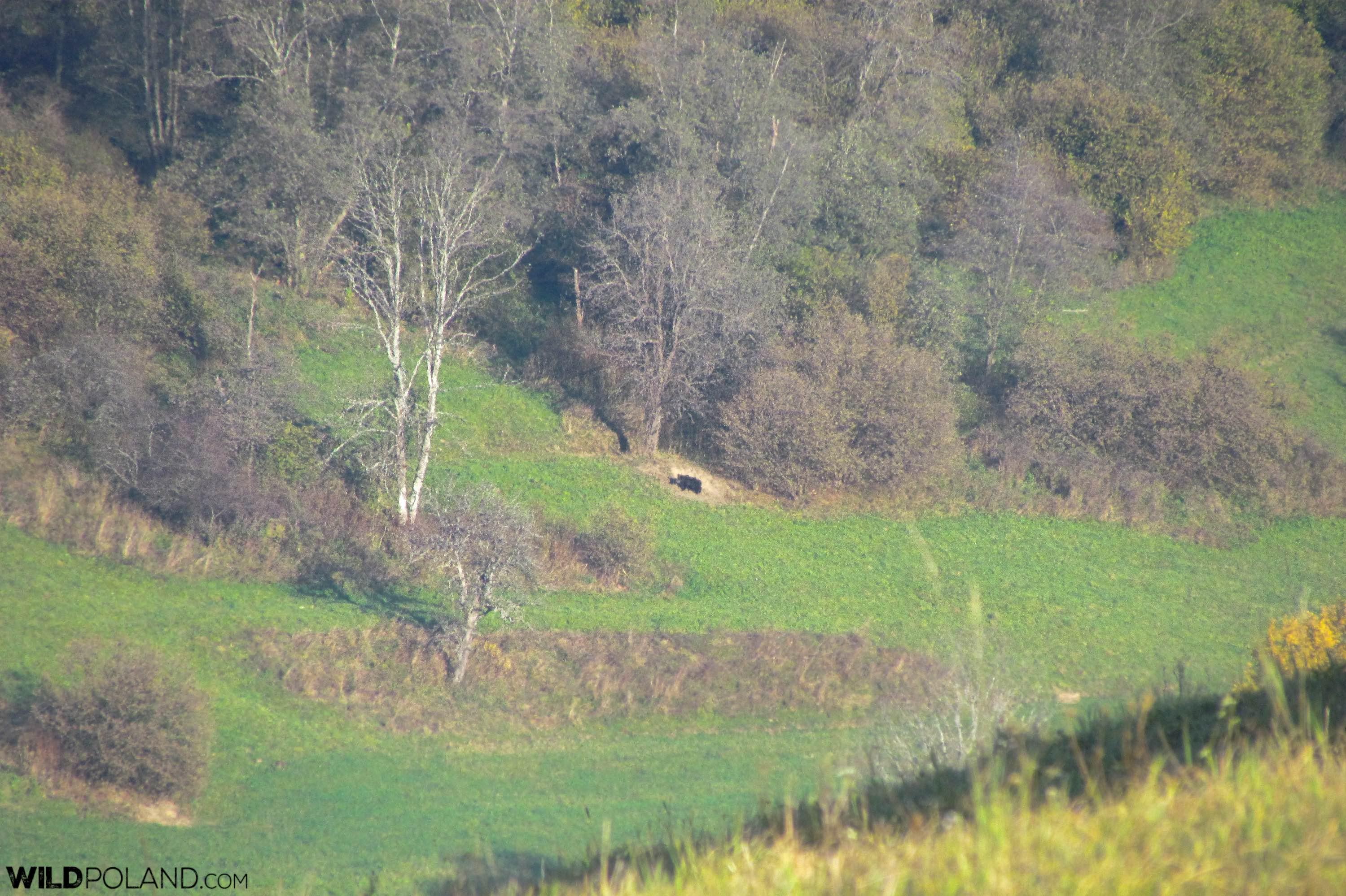 Brown bear in the Eastern Carpathians, Bieszczady Mts