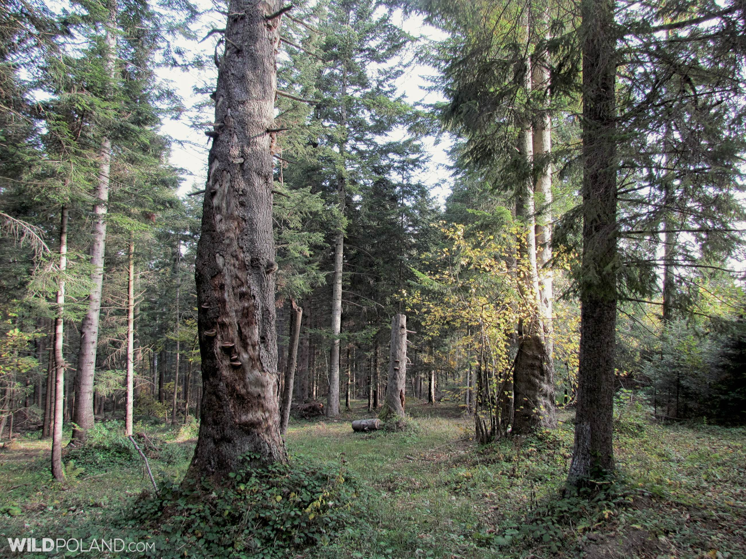 Old growth trees in the Carpathian Forest, Bieszczady Mts