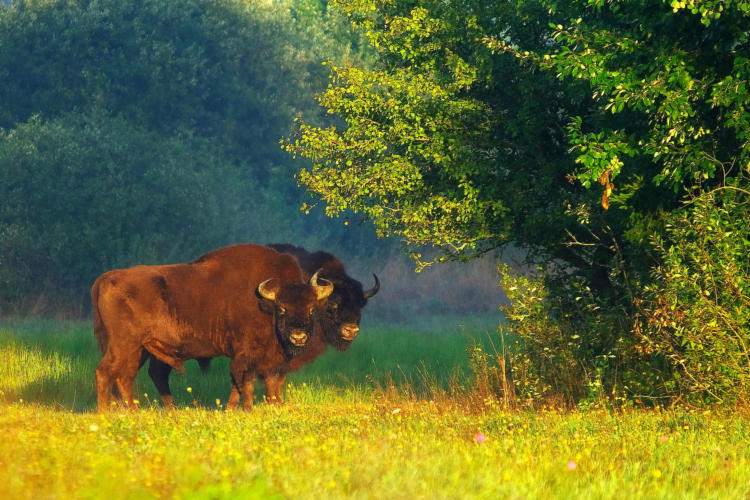 Bison In The Białowieża Forest