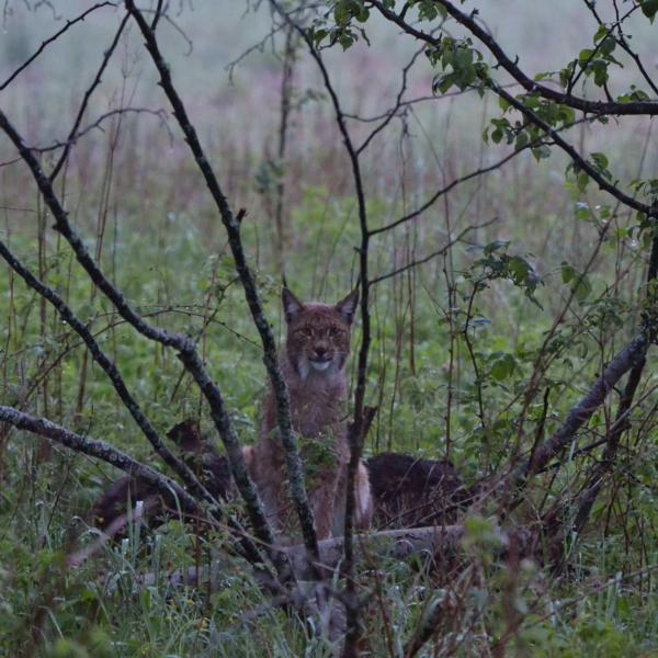 Lynx In The Białowieża Forest At Dusk By Joanna Smerczyńska