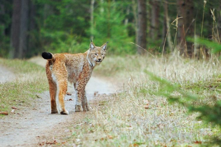 Lynx In The Białowieża Forest By Irek Smerczyński