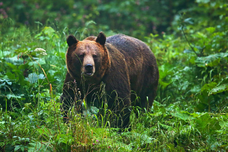 Brown Bear In The Polish Carpathians