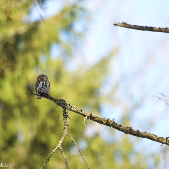 Pygmy Owl In The Białowieża Forest By Adam Buszko