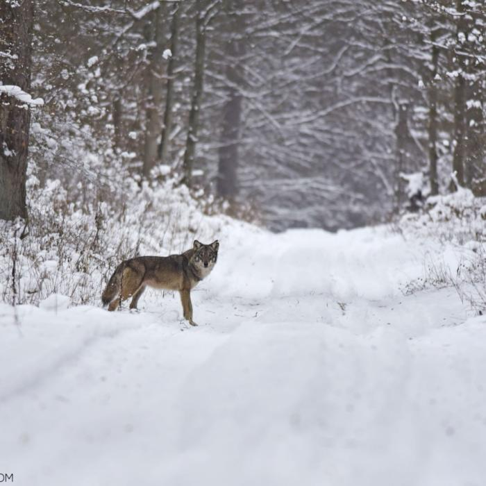 Wolf In The Białowieża Forest By Adam Buszko