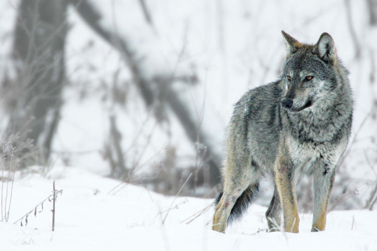 Wolf In The Snow, Poland