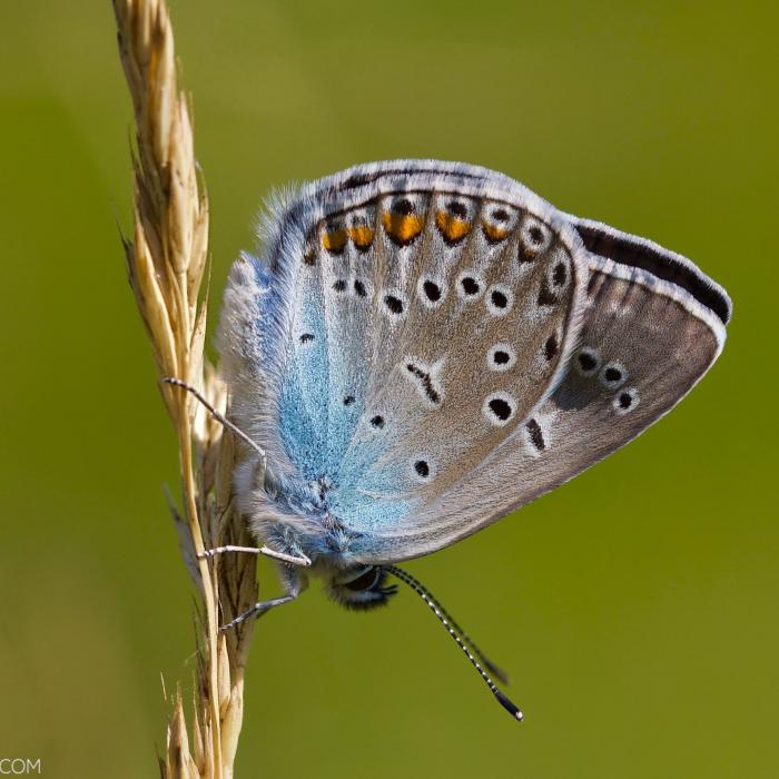 Amanda's Blue In The Biebrza Marshes
