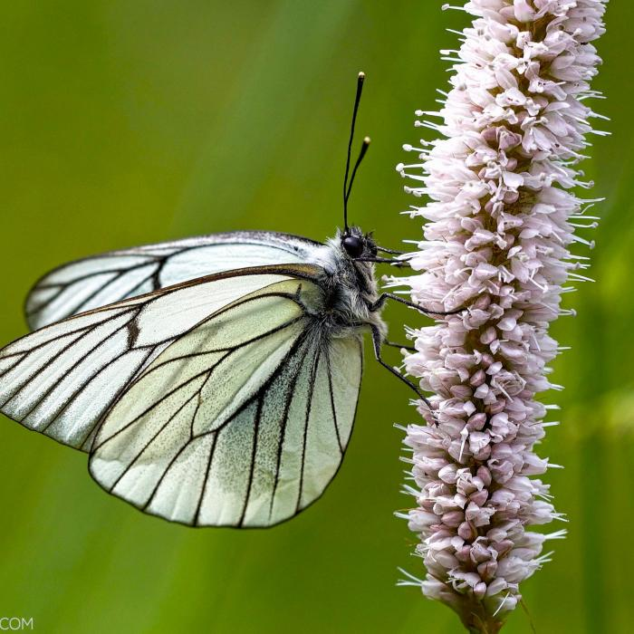 Black-veined White In The Białowieża Forest